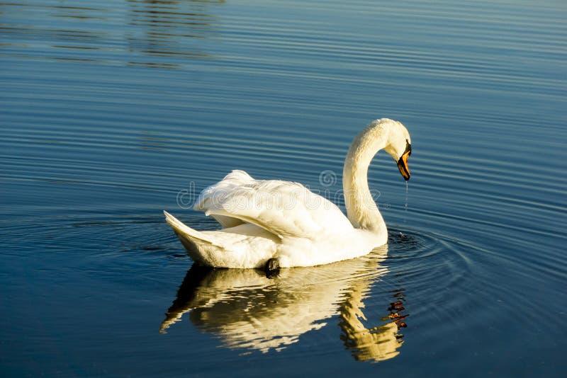 Белый лебедь в синей воде в солнечный день стоковые фотографии rf