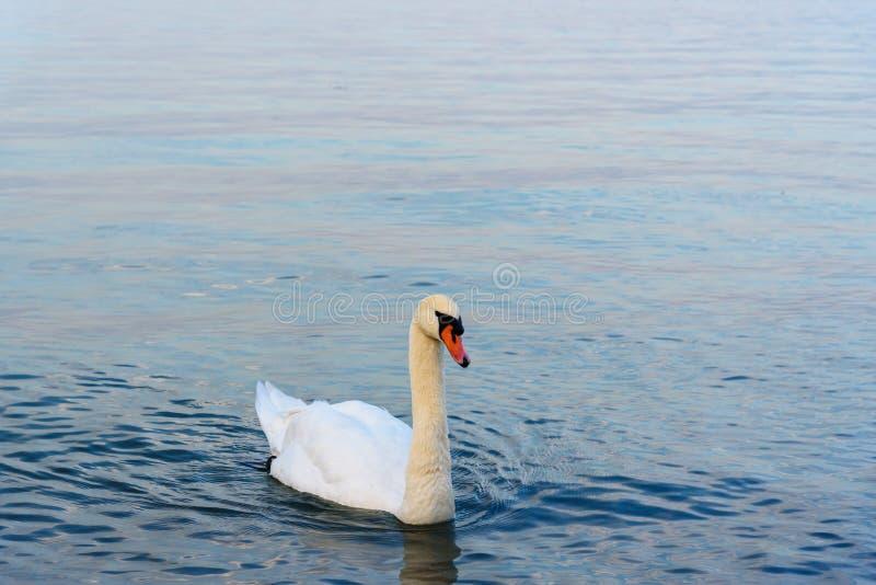 Белый лебедь на озере Garda, Lago di Garda Peschiera del Garda r стоковая фотография rf