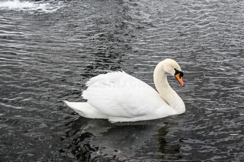 Белый лебедь на пруде зимы стоковая фотография rf