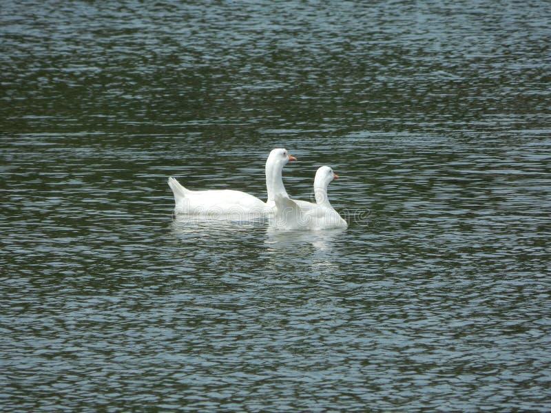 Белый лебедь на пруде стоковые фотографии rf