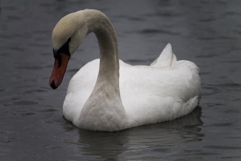 Белый лебедь на серой воде, холодном зимнем дне стоковая фотография rf
