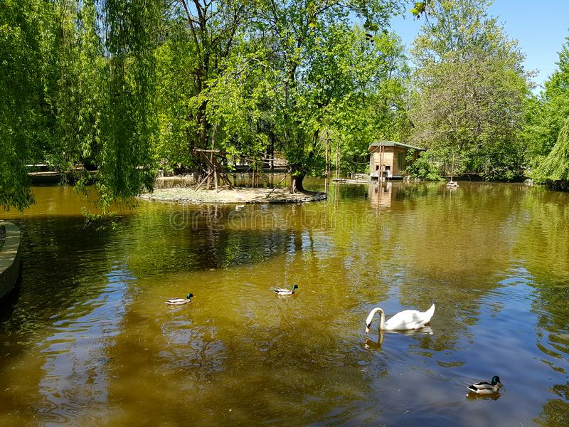 Белый лебедь плавая в мирных пруде или озере с утками вокруг его стоковая фотография