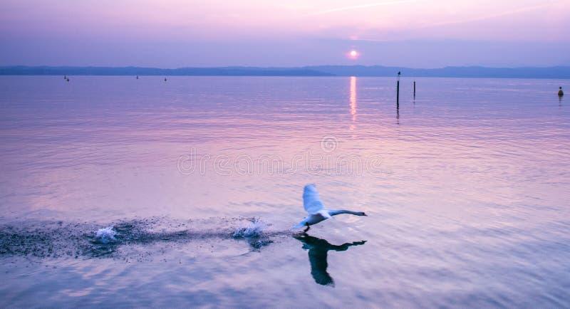 Белый лебедь принимает полет на заход солнца на озере стоковое изображение