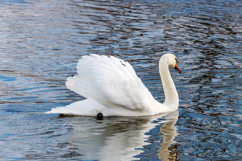 Белый лебедь при поднятые крыла плавая на поверхность воды реки стоковые фотографии rf