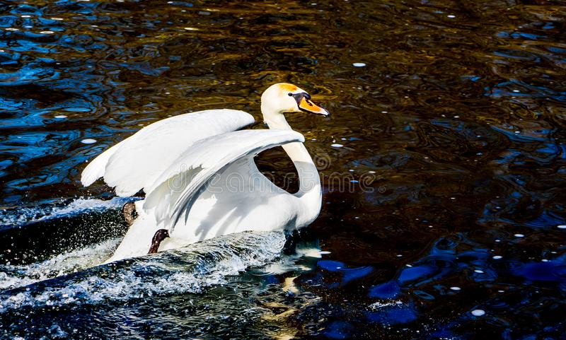 Белый лебедь с поднятыми крылами, трассировка птицы в water_ стоковое фото rf