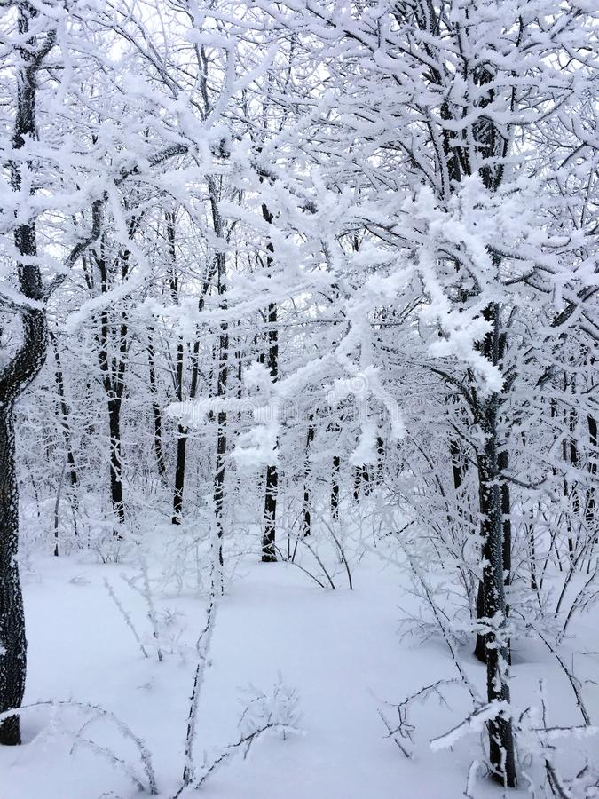 Белый лес с деревьями предусматриванными в снеге стоковая фотография rf