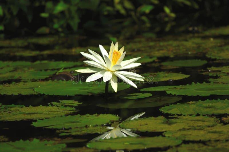 Белый лотос в пруде лилии воды стоковые фотографии rf