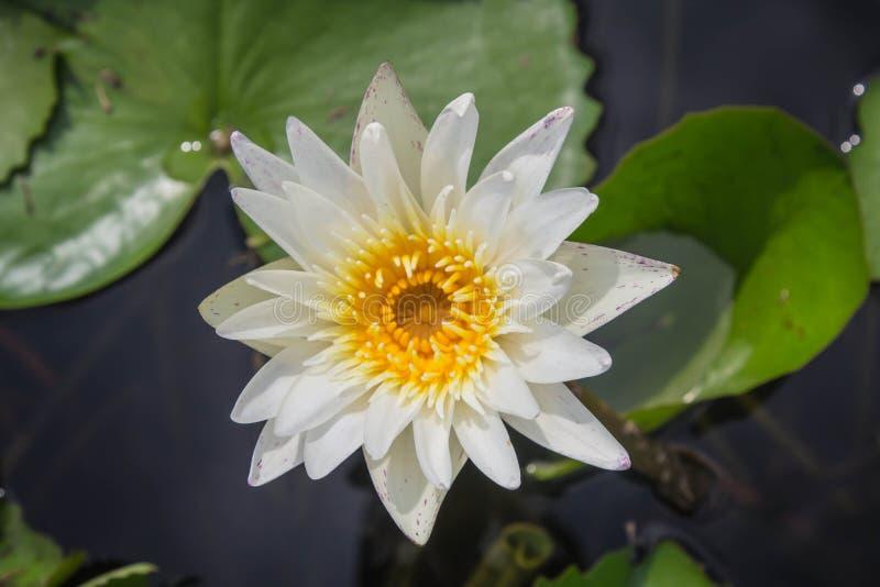Белый лотос зацветает с мягким солнечным светом стоковое изображение