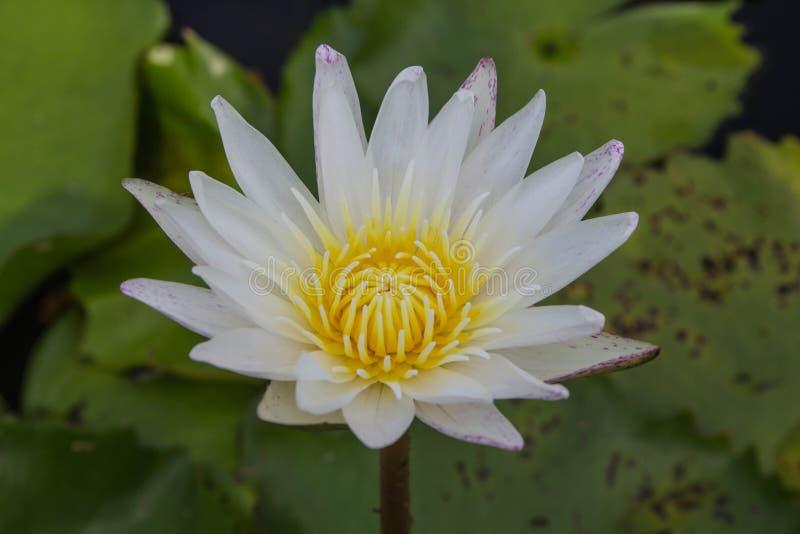 Белый лотос зацветает с мягким солнечным светом стоковая фотография