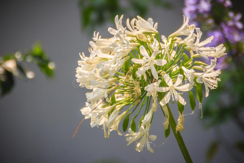 Белый лукабатун цветет пук Лукабатун род monocotyledonou стоковые фото