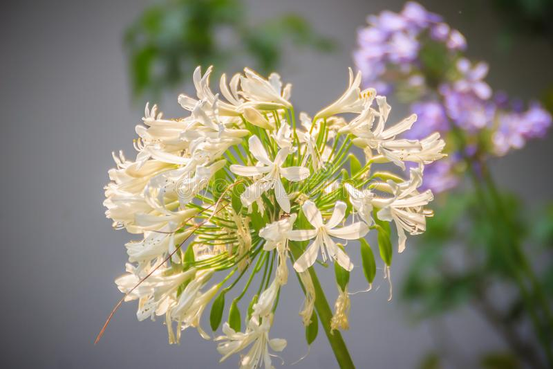 Белый лукабатун цветет пук Лукабатун род monocotyledonou стоковое изображение rf