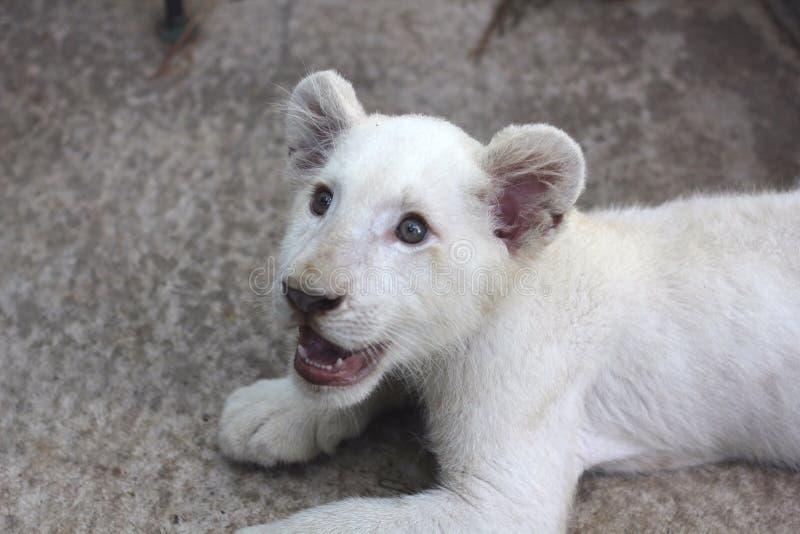 Белый львев Cub стоковые фотографии rf