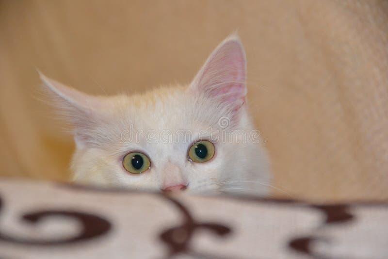 Белый меховой котенок кота стоковое фото