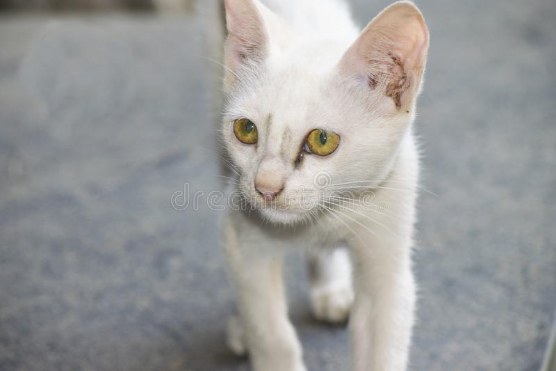 Белый меховой кот любимчика стоковая фотография rf
