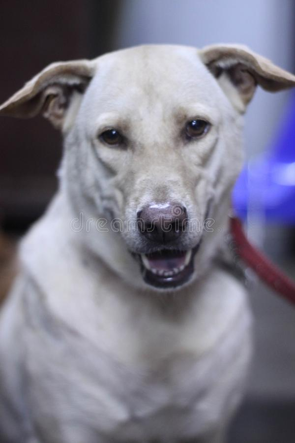 Белый невозмутимый вид собаки стоковые изображения rf