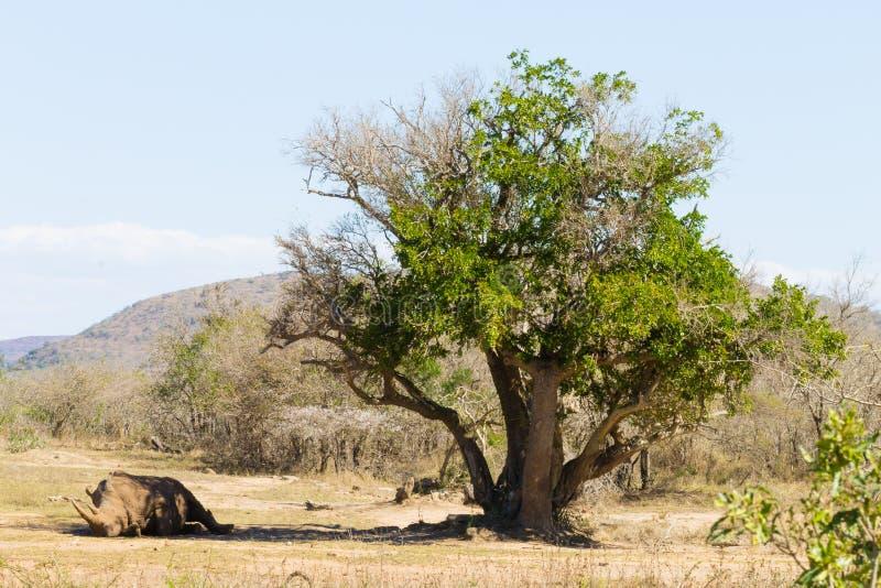 Белый носорог спать под деревом, Южная Африка стоковая фотография
