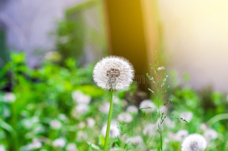 Белый одуванчик на предпосылке травы, взгляде со стороны солнечного света стоковые изображения rf