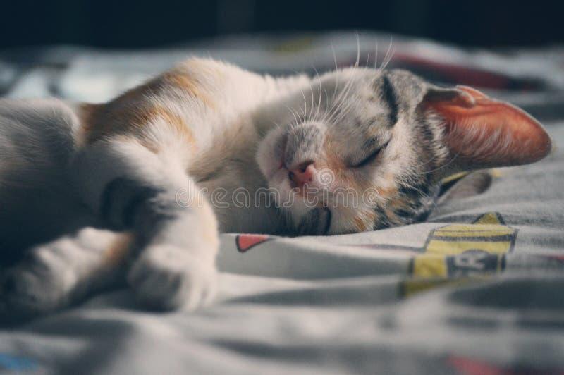 Белый оранжевый и серый кошка-табун, лежащий на серой текстильной ткани стоковое фото