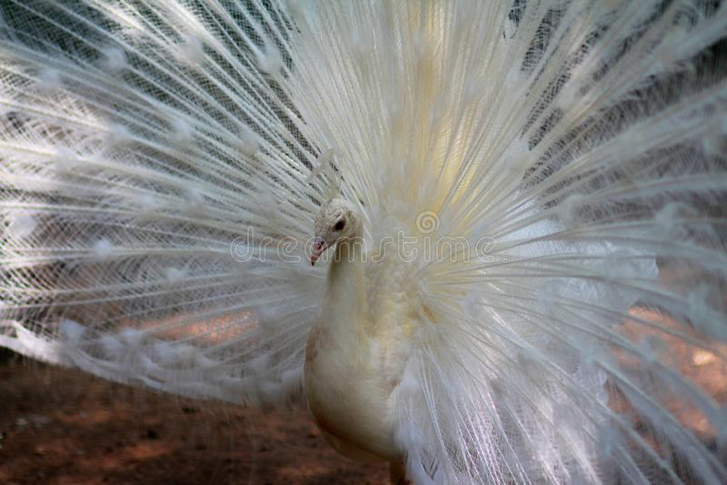Белый очень красивый павлин с большим кабелем стоковая фотография
