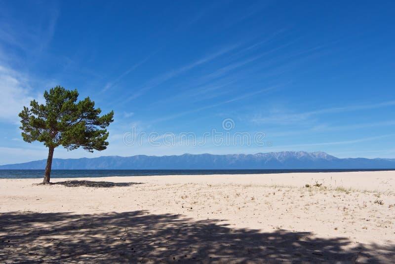 Белый песочный lakeshore ландшафт с сиротливой зеленой сосной стоковое изображение rf