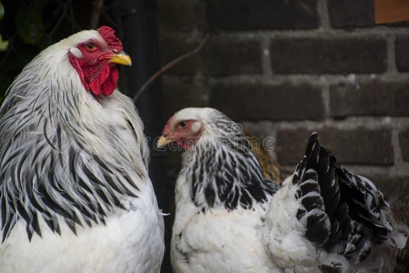 Белый петух Колумбии Brahma с его курицами стоковое изображение