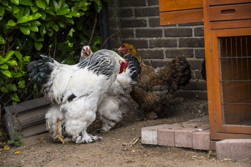 Белый петух Колумбии Brahma с его курицами стоковая фотография