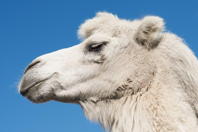 Белый портрет животного верблюда стоковые фотографии rf