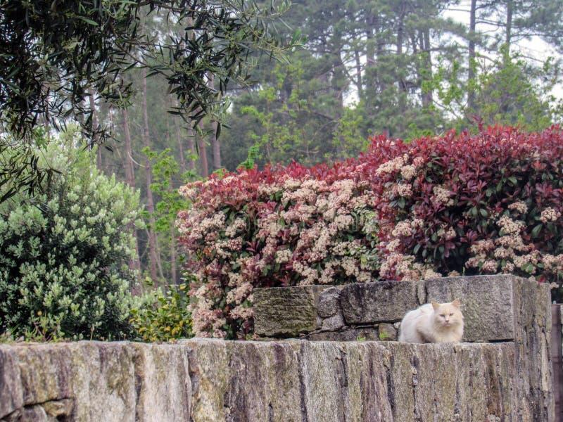 Белый пушистый кот меха сидя на камне обнесет забором сад под розовыми зацветая цветками смотря камеру с голубыми глазами стоковая фотография