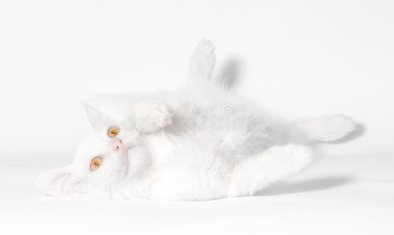 Белый пушистый кот с желтыми глазами лежит на белом конце предпосылки вверх стоковое изображение rf