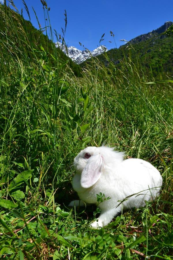 Белый пушистый кролик спать под солнцем в высоком луге весны травы стоковое изображение