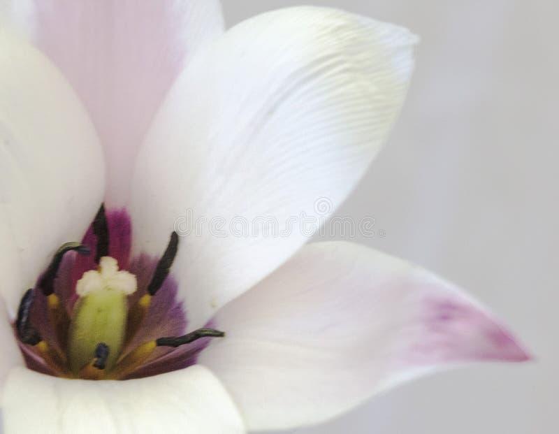 Белый розовый фиолетовый тюльпан показывая ее ядр стоковое фото