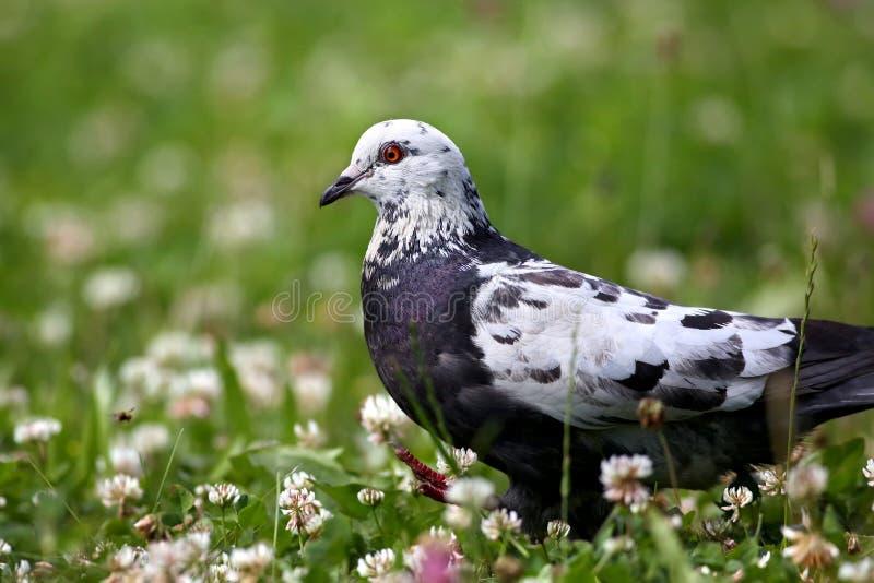 Белый серый цвет запятнал колумбу голубя идя в поле клевера с зеленой травой стоковые фотографии rf