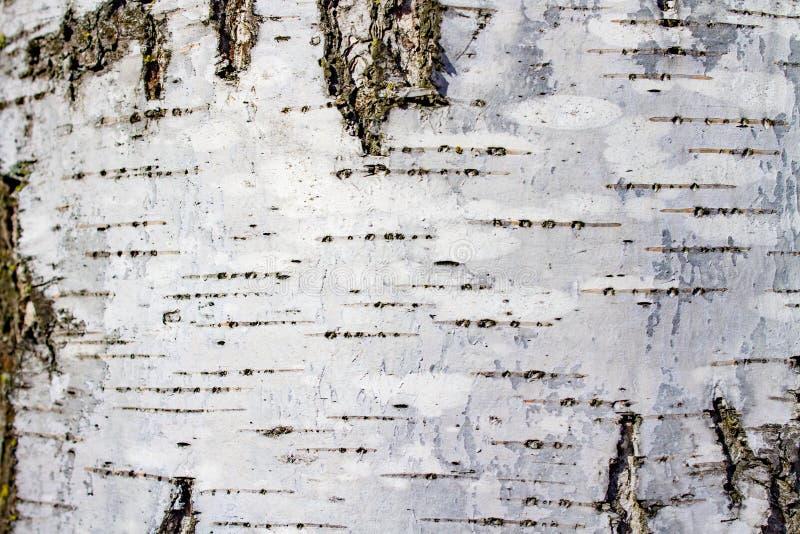Белый с черной березой дерева коры текстуры предпосылки стоковое фото rf