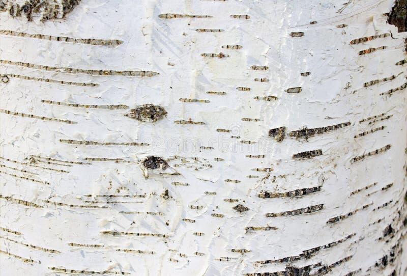 Белый с черной березой дерева коры текстуры предпосылки стоковые фотографии rf