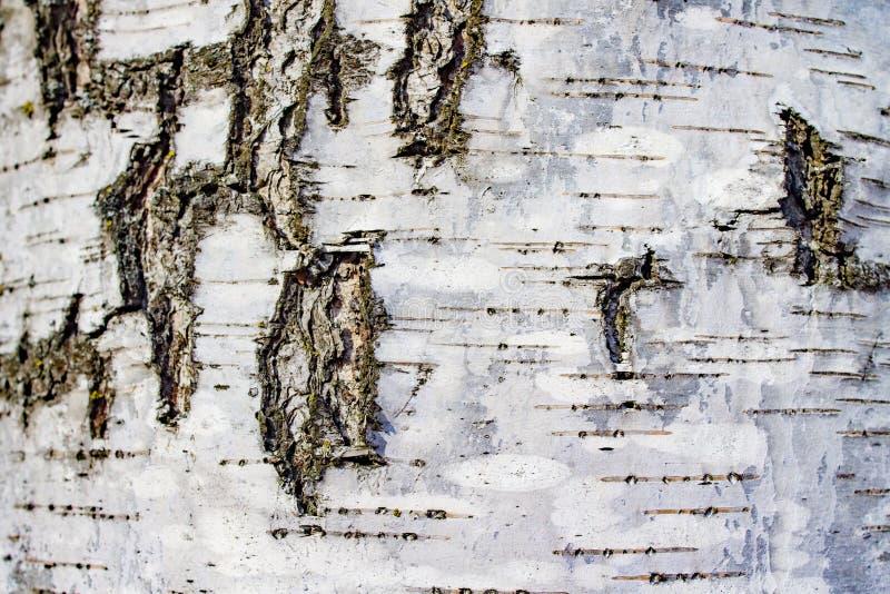 Белый с черной березой дерева коры текстуры предпосылки стоковое изображение rf