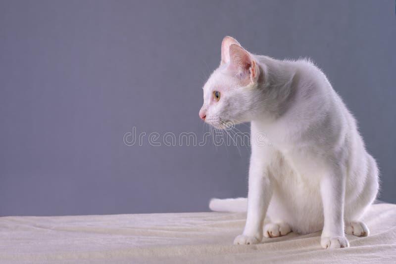 Белый тайский кот который счастливый лежать на белой скатерти стоковое фото rf