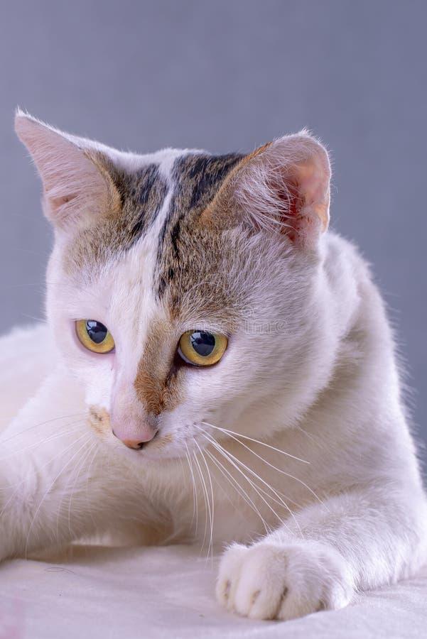 Белый тайский кот который счастливый лежать на белой скатерти стоковое изображение