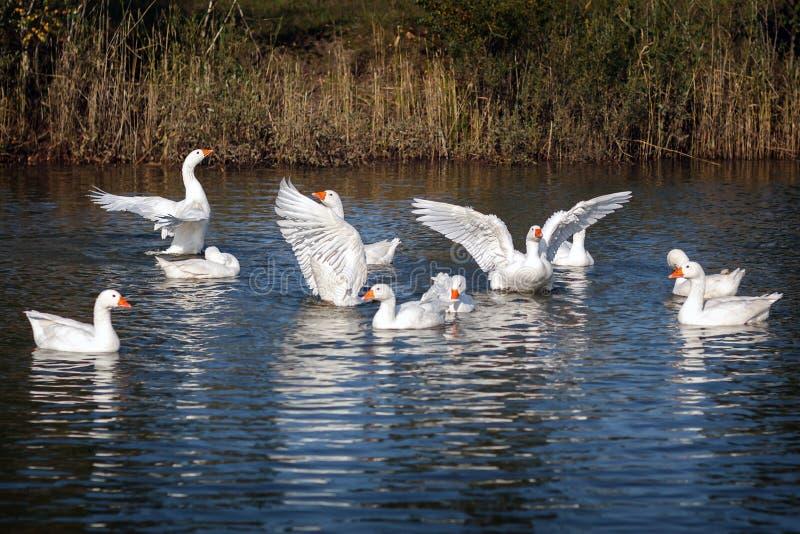 Белый танец крылов ангела gooses стоковые изображения rf