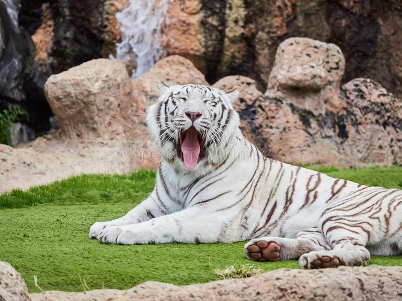 Белый тигр на парке Loro Parque Loro, Тенерифе, Канарских островах, Испании стоковые изображения