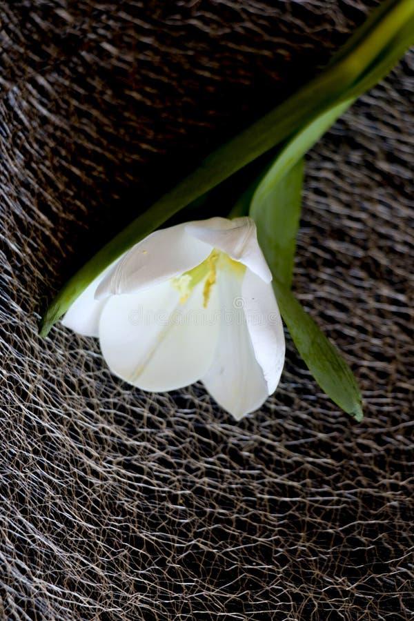 Белый тюльпан на черной предпосылке чувствительный цветок тюльпана с белыми лепестками и яркими ыми-зелен листьями на темной пред стоковая фотография
