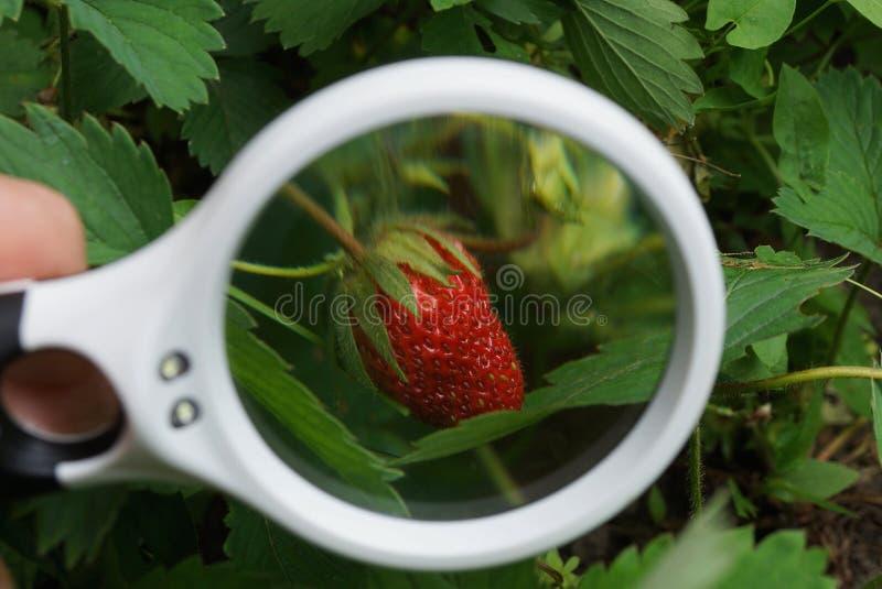 Белый увеличитель увеличивает красную клубнику в зеленых листьях стоковое фото