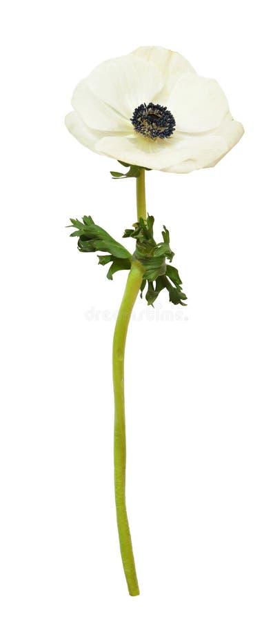 Белый цветок ветреницы стоковые фотографии rf