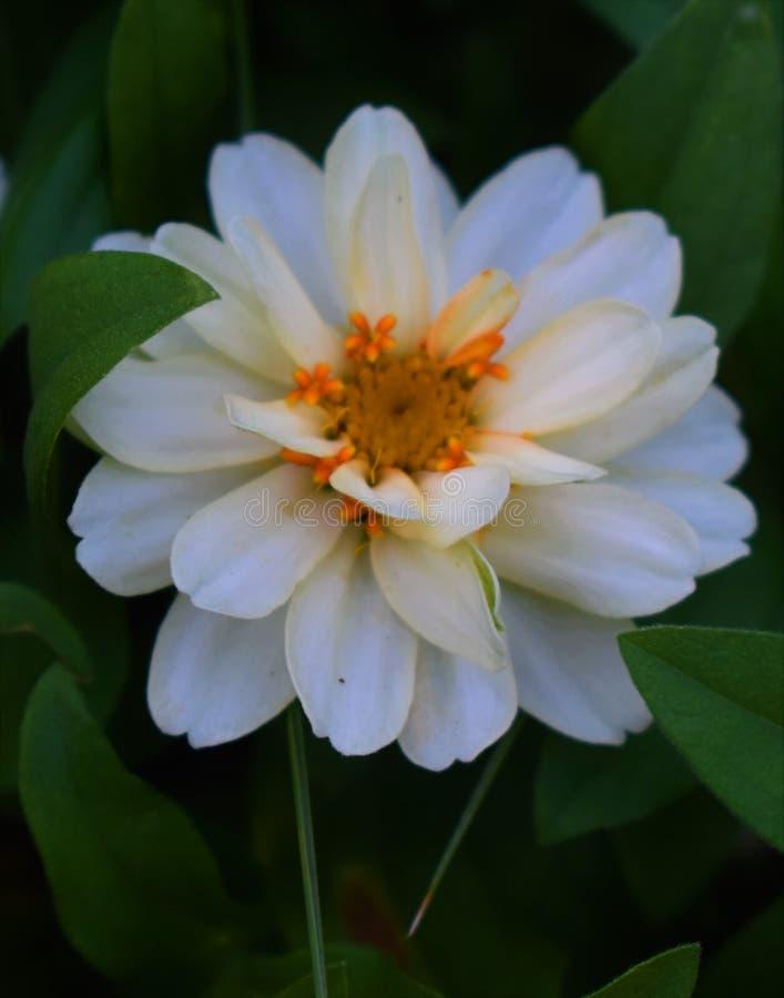 Белый цветок в поле стоковое изображение rf