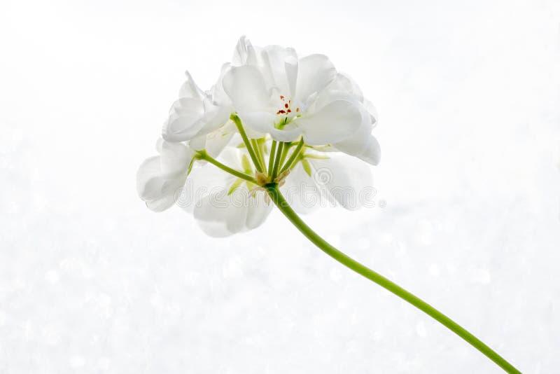 Белый цветок гераниума пеларгонии на белом конце-вверх предпосылки стоковое фото rf