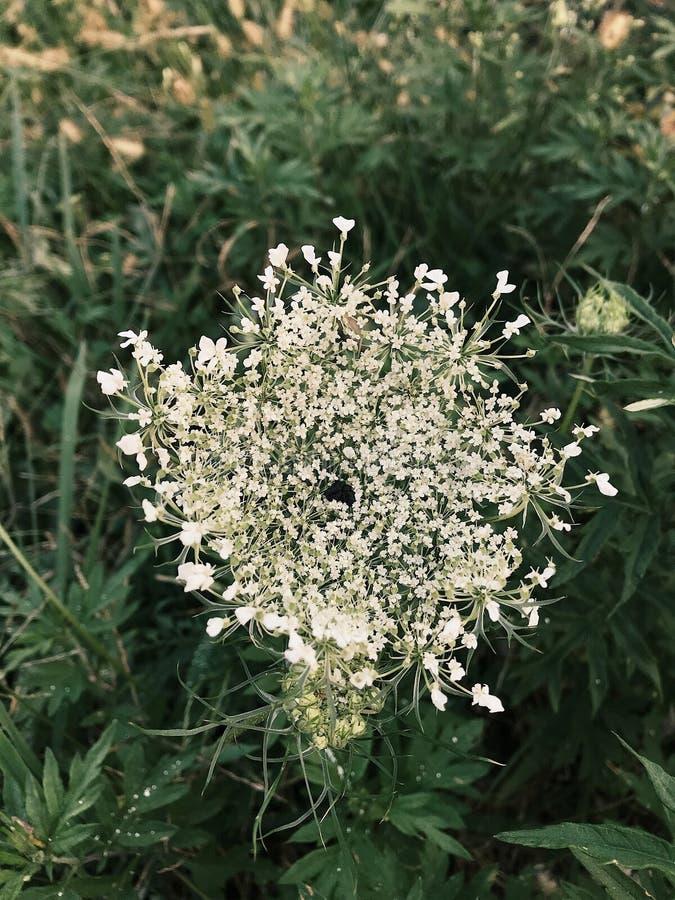 Белый цветок дикой моркови стоковая фотография