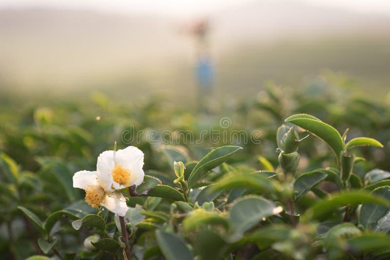 Белый цветок зеленого чая в ферме чая стоковое изображение rf