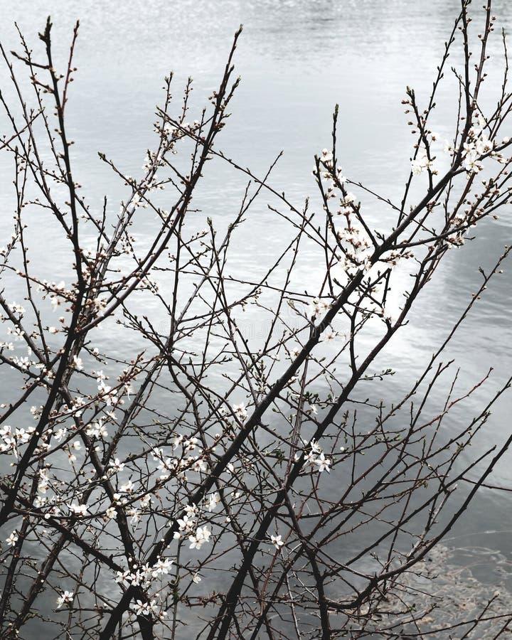 Белый цветок зимы рядом с озером стоковое фото rf