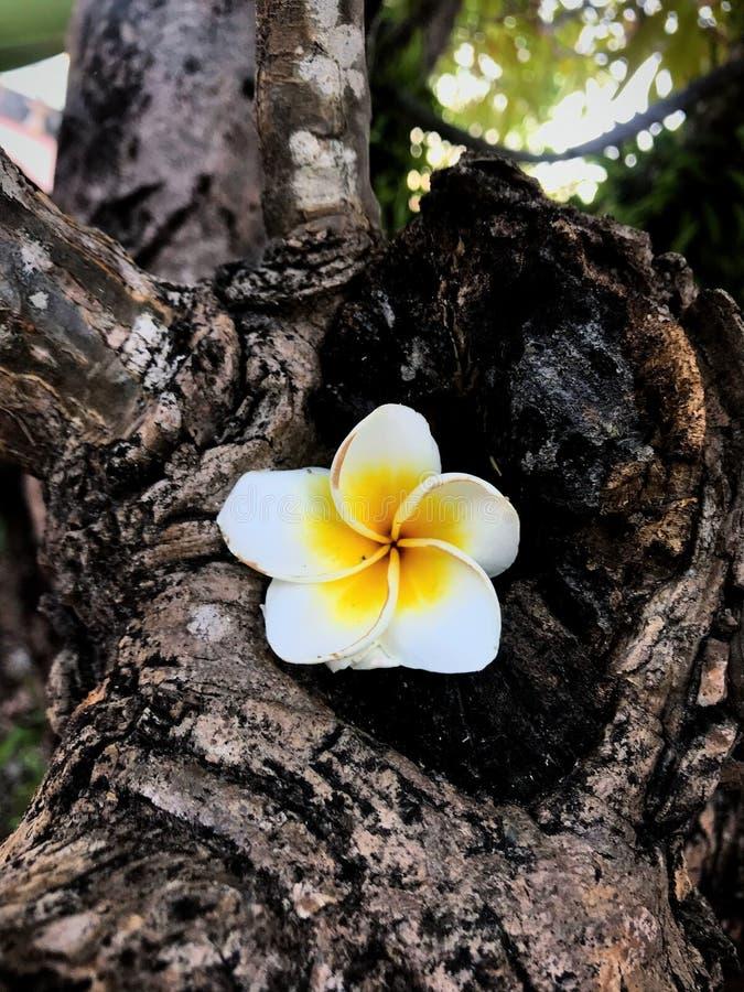 Белый цветок и дерево стоковые изображения rf