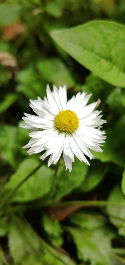 Белый цветок и зеленые листья стоковое фото