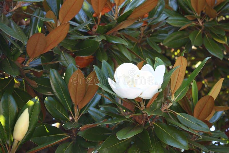 Белый цветок магнолии стоковое фото rf